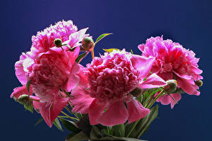 Картинки Пионы Крупным планом Цветной фон Розовый Бутон