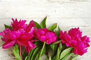 Фото Пион Крупным планом Доски Розовых Цветы