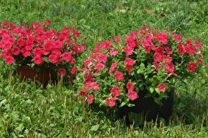 Обои Петунья Трава Розовый Цветы картинки