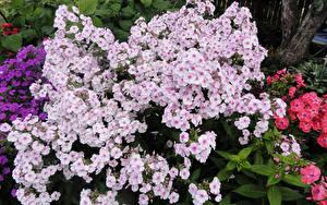 Картинка Флоксы цветок