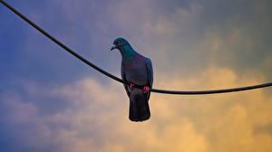 Фото Голуби Птицы Электрический провод