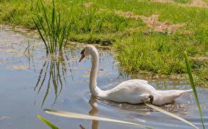 Фотография Пруд Птицы Лебеди