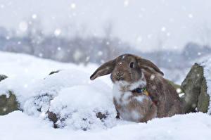 Картинки Кролики Снег Животные