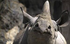 Фотография Носороги Крупным планом Макро Морда Животные