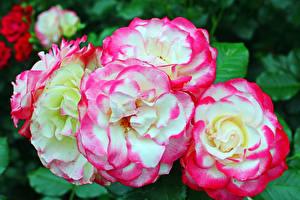 Обои Розы Вблизи Цветы