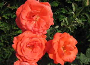 Картинка Розы Вблизи Цветы