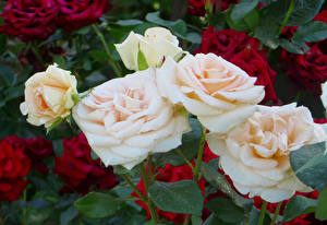 Картинки Розы Вблизи Цветы