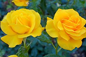 Фотографии Розы Вблизи Двое Желтый Цветы