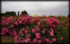 Картинки Розы Много Кусты Розовый Цветы
