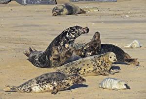 Фото Морские котики Песке