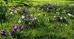 Фотографии Весенние Крокусы Много Трава Цветы
