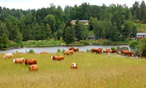 Картинки Швеция Луга Корова Леса Речка Стадо Katrineholm Животные