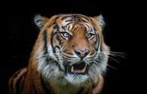 Фотография Тигры Клыки Морда Черный фон Животные