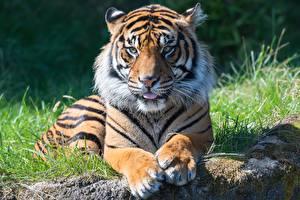 Картинки Тигры Лапы Смотрит