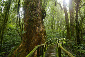 Фотографии Тропики Лес Мосты Ствол дерева Мох Jungle Природа