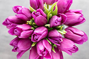 Фото Тюльпаны Вблизи Фиолетовый Цветы