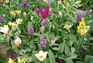Картинка Тюльпаны Нарциссы Гиацинты