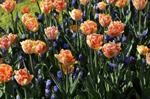 Фото Тюльпаны Гиацинты Вблизи Цветы