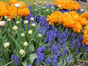 Обои Тюльпаны Гиацинты Бутон