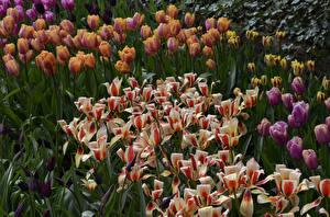Фото Тюльпаны Много Цветы