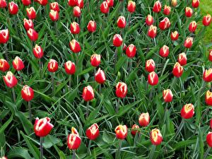 Фотография Тюльпаны Много Цветы