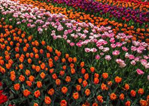 Фотографии Тюльпаны Много Цветы