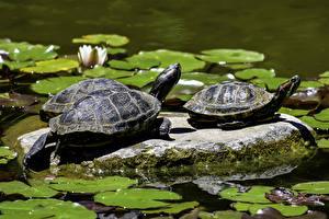 Картинка Черепахи Камни Вода Два животное