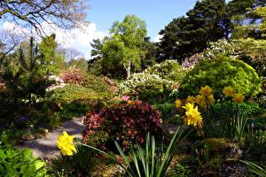 Картинки Великобритания Сады Нарциссы Рододендрон Кусты Lee Gardens Природа