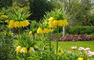 Фото Великобритания Сады Рябчик Желтые Dutton Цветы