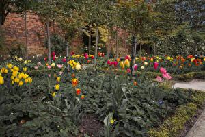 Обои Великобритания Сады Тюльпаны Деревья Alnwick Garden Природа картинки