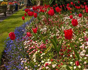 Обои Великобритания Сады Тюльпан Маргаритка Уэльс Swansea Botanic Gardens Цветы