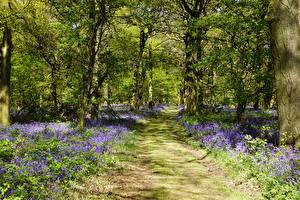 Фотография Великобритания Парки Колокольчики - Цветы Деревья Тропинка Shipley Country Park