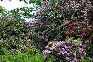 Фотография Великобритания Парки Рододендрон Кусты Blaxton Doncaster Природа