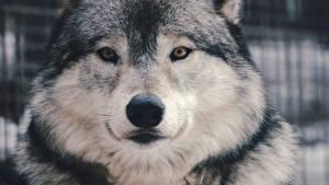 Обои Волки Вблизи Морда Смотрит Животные