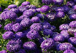 Картинка Астры Вблизи Фиолетовые Цветы