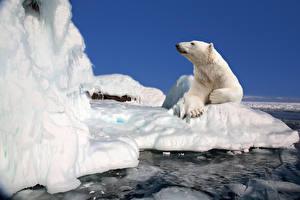 Фото Медведи Северный Льда Животные