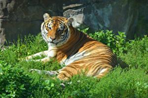 Фотографии Большие кошки Тигры Трава