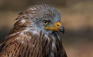 Фотографии Птицы Вблизи Клюв Milvus Животные