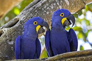 Картинки Птица Попугаи Синих Вдвоем Hyacinth macaw животное