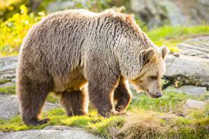 Картинки Медведи Гризли