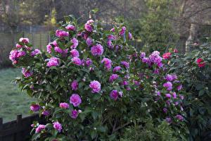 Картинки Камелия Кусты Розовый