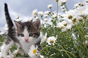 Фото Коты Ромашки Котята Животные