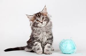 Картинки Кошки Мейн-кун Котята Смотрит