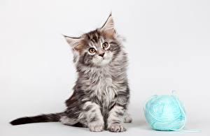 Картинки Кошки Мейн-кун Котенка Смотрит