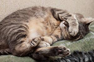Картинка Коты Сон Лапы Животные