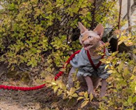 Картинка Кошки Сфинкс кошка Униформа