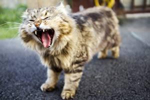 Обои Коты Язык (анатомия) Зевает Животные