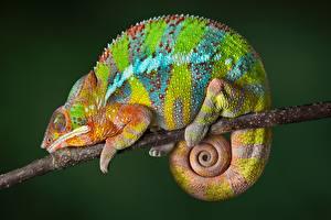 Фото Хамелеон Ветвь Разноцветные Животные