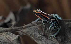 Фотографии Крупным планом Лягушки Red-backed poison frog Животные