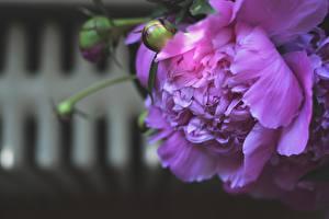 Фото Вблизи Пионы Фиолетовый